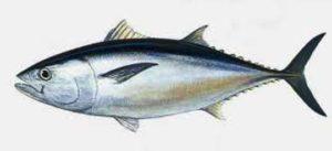 Kandungan Gizi Ikan Tongkol Dan Manfaatnya