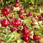 Inilah 5 Manfaat Bunga Rosela Untuk Kesehatan Tubuh