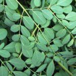Inilah Manfaat Daun Kelor (Moringa Oleifera) Untuk Kesehatan