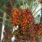 Harga Kurma Ajwa Terbaru Lebaran 2018 Halal dan Berpahala