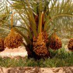 Harga Kurma Palm Fruit Terbaru Menjelang Lebaran Nikmat Dan Berkah