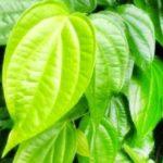Manfaat Daun Sirih yang Jarang Diketahui Banyak Orang, Kegunaannya Hingga Kombinasi Dengan Herbal Lainnya